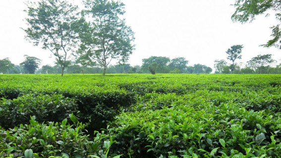 Miles upon miles of tea plantations